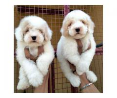 ROYAL ORCHID PAWS POODLE PUPPS AVAILABLE MALE & FEMALE 9205546224