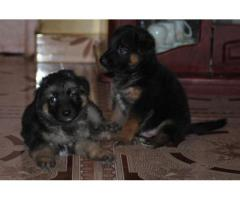 The Excellent Quality of Puppies German shepherd at Best Price in Asiapets.in 9555944924