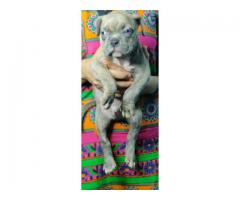 8130990153 Grey color American bully pups for sale