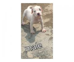 Amazing American bully puppy available in Balaji kennel 9716575323
