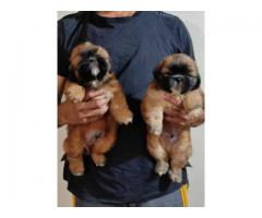Lhasa apso puppies puppies ready for rehoming from dogs kennel