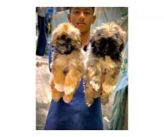 Lhasa apso Puppies for sale in pune.