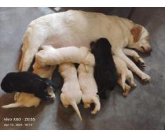 9205546224 VERY CUTE WRINKLED LABRADOR PUPPS  AT ROYAL ORCHID PAWS