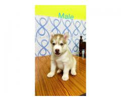 Super quality husky male with blue eyes