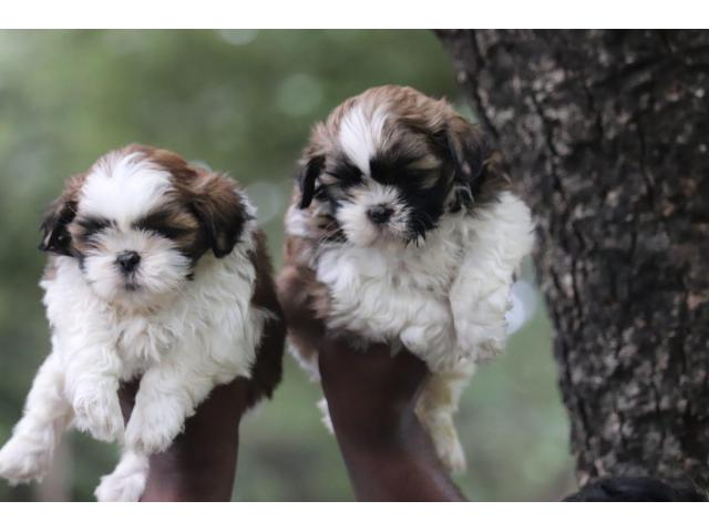 Shihtzu puppies available in chennai 8667213100