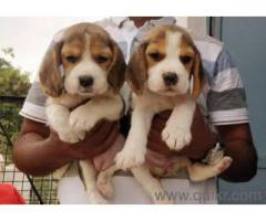 Beagle puppies available MALE and FEMALE with Kci call8667213100