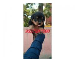 Rottwiller puppies available here 9557597500