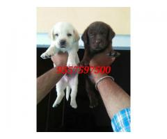 Labrador puppies availble here 9557597500