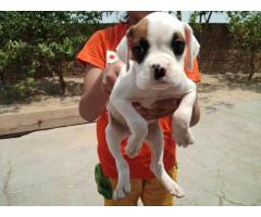 Boxer male pup avail...