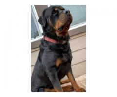 SALE ROTTWEILER FEMALE CANSIVE