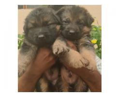 GERMAN SHEPHERD LONG COAT HEAVY SIZED MASSIVE QUALITY PUPPIES AVAILABLE IN CHENNAI-8825694373