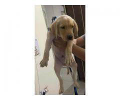 Labrador male  puppy available high quality