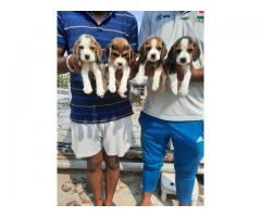 Quality of Beagle Breed Top Quality Puppies Available at Aryan Kennel