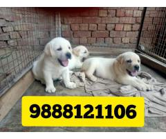 Labrador puppy sale and purchase online in jalandhar city 9888121106