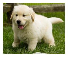 KCI Registered Golden Retriever puppies through all over India