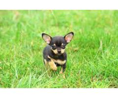 KCI Registered B Chihuahua ull dog puppies through all over India Proper shape
