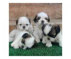 KCI Registered Shih tzu puppie through all over India