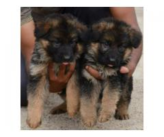 GERMAN SHEPHERD LONG COAT MASSIVE SIZED PUPPIES AVAILABLE IN CHENNAI-8825694373