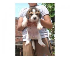 Very beautiful beagle puppies are available cholan WhatsApp