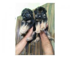 Very good quality German Shepherd puppies available call and WhatsApp 7017 2711 70
