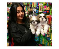 PRETTY TRICOLOUR SHIH TZU PUPPIES LOOKING FOR NEW HOME