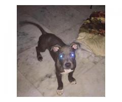 American bully 3 months old pup