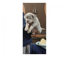 BETTER QUALITY AMERICAN BULLDOG PUPPS AVAILABLE 9205546224 FELL FREE TO CALL