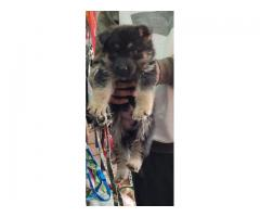 BETTER QUALITY GERMAN SHEPHERD PUPPS AVAILABLE 9205546224 FELL FREE TO CALL