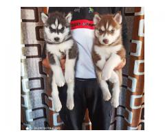 CUTE AND LOYAL BLUE EYES HUSKY PUPPIES RESEARCHING HOME