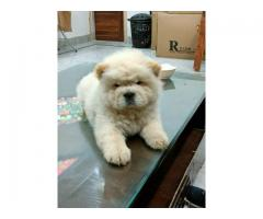8130990153 Chow chow Cream color puppies available
