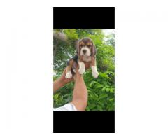 Begal male puppy available in Jalandhar city. 9815081234