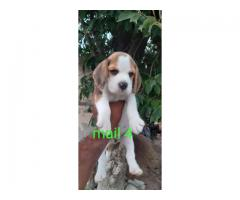 Beagle Is Beagle Puppies Available