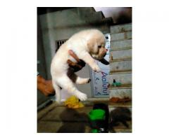 Labra Pups For Sale