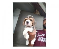 BEAGLE PUPPS TO LOVING SHOW HOMES 9205546224