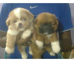 HAVANESE PUPPS TO LOVING SHOW HOMES 9205546224