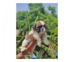 Shih tzu puppies available for sales in chennai call 7200040780