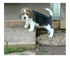 7065100447 Beagle Dogs And Puppy Ready To Move New Home