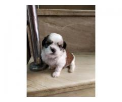 SHIH TZU PUPPIES AVAILABLE IN DELHI NCR. VACCINATED, DEWORMED AND KCI REGISTERED