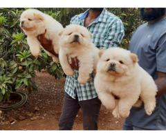 Chow Chow pups available call me 8368241911