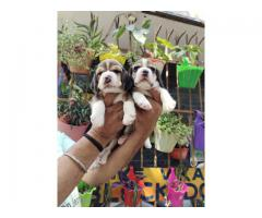 GLORIOUS BEAGLE MALE AND FEMALE TO SHOW