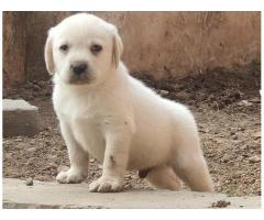 GLORIOUS LABRADOR MALE AND FEMALE TO SHOW