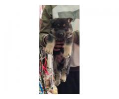 GLORIOUS GERMAN SHEPHERD MALE AND FEMALE TO SHOW