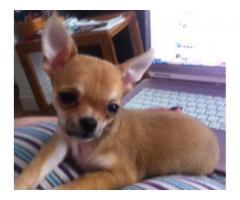 GLORIOUS CHIHUAHUA PUPPIES MALE AND FEMALE TO SHOW QUALITY 9555944924