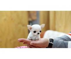KCI Registered B Chihuahua ull dog  through all over India Proper shape