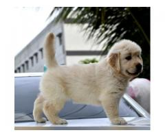 Extraordinary Golden Retriewer Female Puppy Available in Pune -9145055522