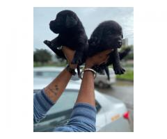 Heavy Bone Black Lab Male puppy Available In Pune-9145055522
