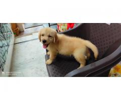 8368241911 Golden retriever Good looking magnificent pups for sale