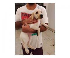 Labrador Female Puppy Available in Delhi NCR, Dewormed and Vaccinated