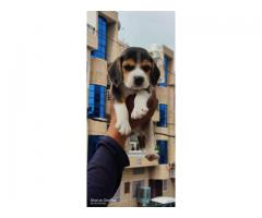 BEAGLE PUPS AVAILABLE IN DELHI NCR, HEAVY BONE, VACCINATED, DEWORMED