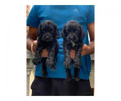 COCKER SPANIEL PUPS AVAILABLE IN DELHI, NOIDA AND GURGAON. VACCINATED, DEWORMED AND KCI REGISTERED